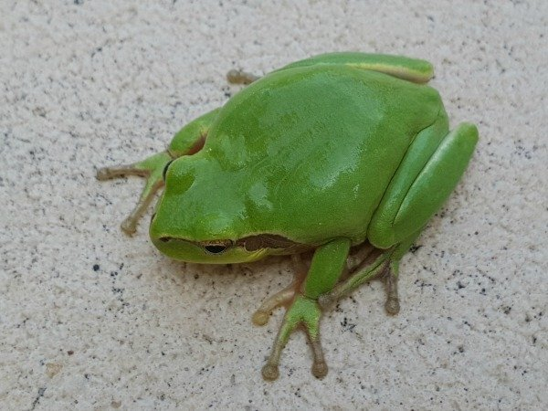 rainette meridionale stripeless tree frog
